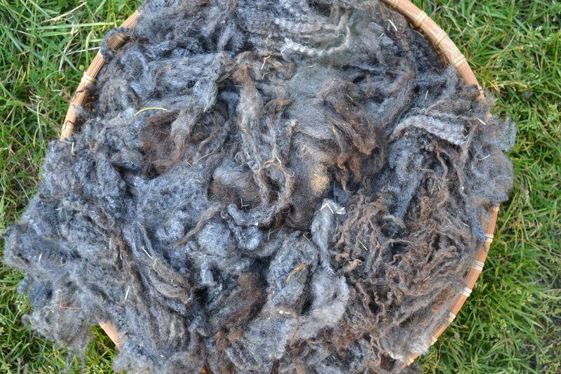 September 2015 - Stella Blue first shearing 1