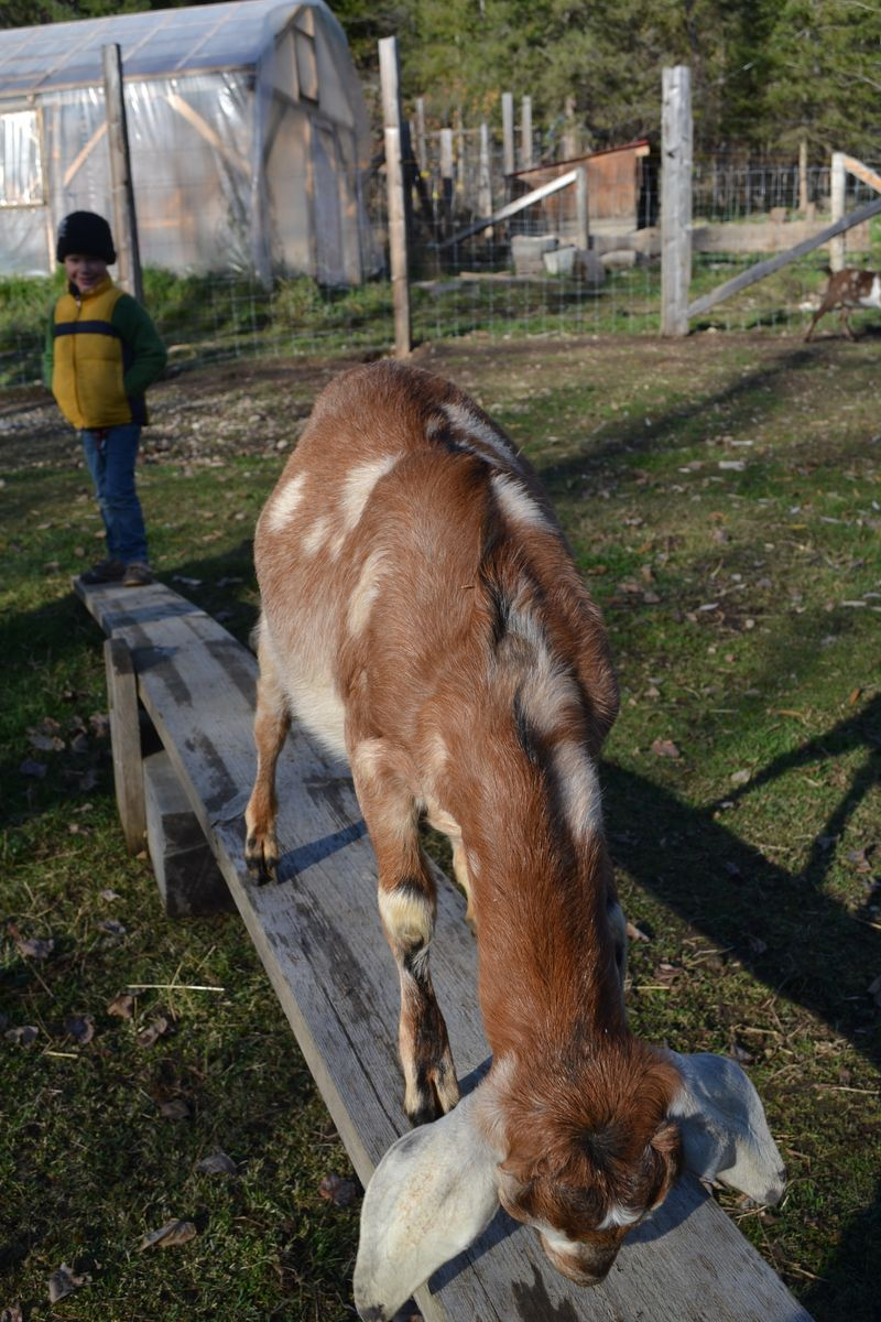 November 2015 - teeter totter for goats 5