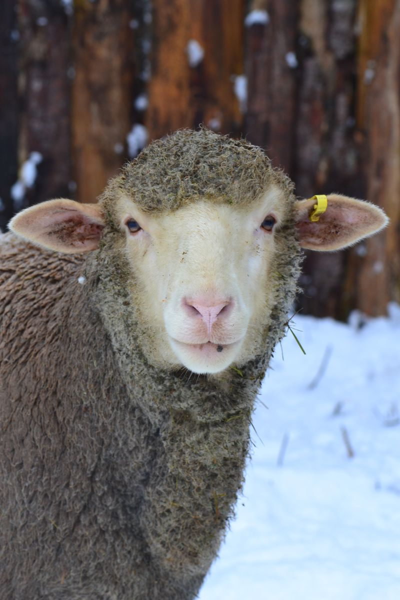 December 2015 - snow sheep 5 - Flora